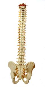 spine and pelvis